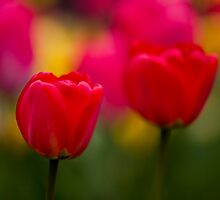 Red Tulips by Thomas Splietker