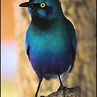Glossy starling! by Greg Parfitt
