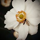 Flowers - White Anemone with Bee by Kaitlin Kelly