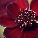 Flowers - Red Macro by Kaitlin Kelly