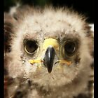 Young Harris Hawk by Bryony Griffiths