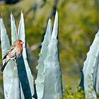 House Finch Agave by levipie