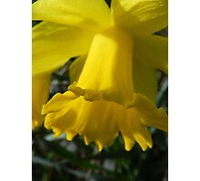 Daffodil Galore Photographic Print