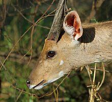 Bushbuck in profile by jozi1