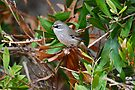 White-browed Scrubwren - spotted form by Ian Berry