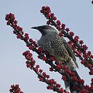 Brush, or Little, Wattlebird by Geoffrey Higges