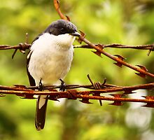 The Fiscal Flycatcher flew onto the fence by Graeme M
