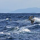 Great Blue Heron flight over the surf by TerrillWelch