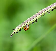 Lady bug on paspalum by Chris Brunton