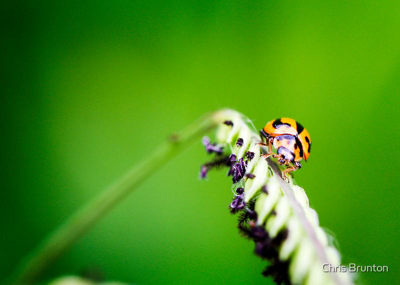 Lady bug by Chris Brunton