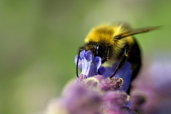 Bumblebee on Lavender by jeremymadea