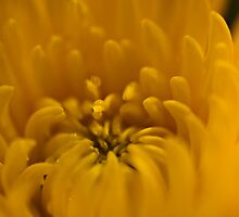 Yellow dahlia 1  by KSKphotography