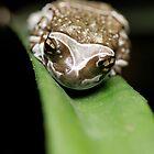 Amazon Milk Frog by Tim Devine