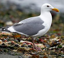 Gull On the Beach (KeyPort WA) by Robbie Knight