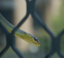 Smiling Green Tree Snake © Vicki Ferrari by Vicki Ferrari
