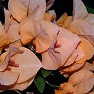 Golden Bougainvilleas Doradas by PtoVallartaMex