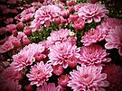 A Sea of Pink Chrysanthemums by MotherNature