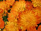 Fire Orange Chrysanthemums by MotherNature