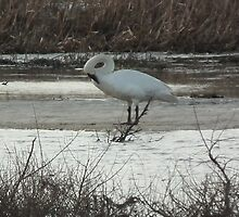 Trumpeter Swan's Graceful Curve by Deb Fedeler