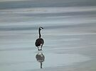 Canada Goose on Ice - Sweet Marsh, Iowa by Deb Fedeler