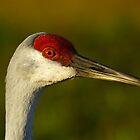 Sandhill Crane Up Close by ejlinkphoto