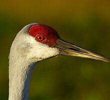Sandhill Crane Up Close by ejlinkphoto