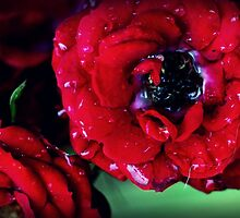 Rain Washed Rose by Lacey Kirsch