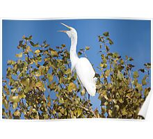 Great White Egret ~ ♪ I'm Sexy and I know it ♫ Poster