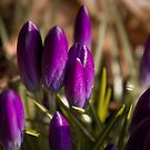 Crocuses 2 by njumer