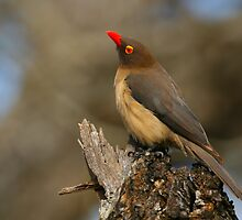 Red-billed Oxpecker by naturalnomad