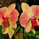 Phalaenopsis by Irina777