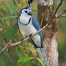 White-Throated Magpie Jay - Arenal Region. Costa Rica by Stephen Stephen