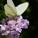 White Cabbage Butterfly  by Saija  Lehtonen