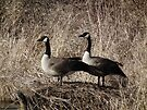 Two Geese on Hillock in Sweet Marsh by Deb Fedeler
