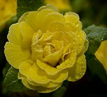 Belarina Rosette Buttercup Yellow by Paul Barnett