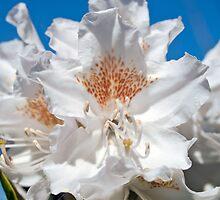 Rhododendron by Paul Barnett