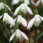 Snowdrops by redown