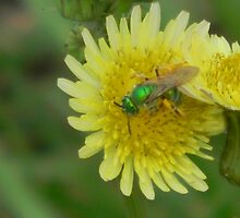 Female Green Bee, also known as Sweat Bee by Navigator