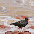 Sooty Oystercatcher by Antoine de Paauw