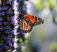 Monarch butterfly munching yummy purple lunch by aretae2