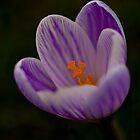 Welcome, wild harbinger of spring! by Paul Richards