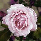 Tuscan Rose by Karen Lewis