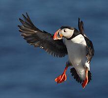 Puffin in flight by Remo Savisaar