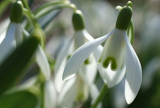 Snowdrops by marens