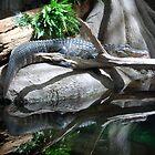 American Alligator by Kathleen Stephens