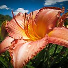 Basking in the Sunlight ~ Peach Colored Lily in a Flower Garden on a Hot Summer Day by Chantal PhotoPix
