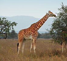 Rothschild's Giraffe, Lake Nakuru, Kenya by Carole-Anne