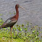 Glossy Ibis at waters edge by Jim Cumming