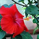 Red Hibiscus by deb cole