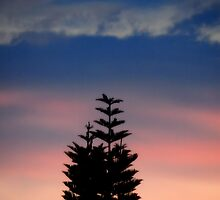 Norfolk Island Pine Sunset by Glenn Cecero